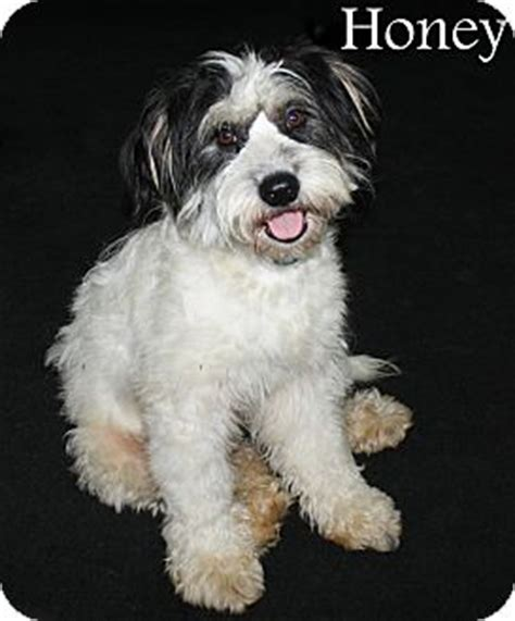 havanese rescue nj bordentown nj honey adopted new jersey nj havanese poodle miniature mix