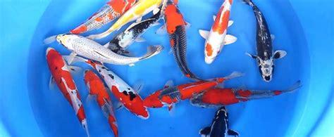 Bibit Ikan Koi Jakarta tempat jual ikan koi di jakarta jghcons comjghcons