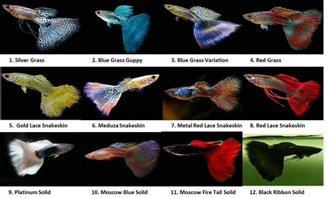 guppies colors guppy colour chart what i ve found so far