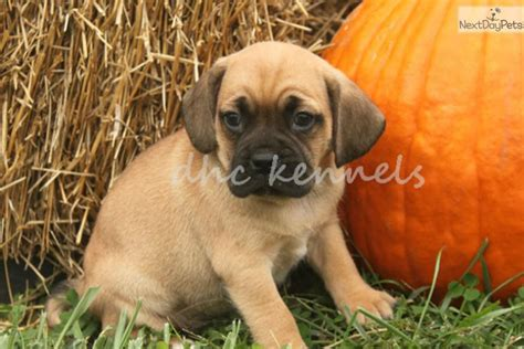 wayne puppies meet wayne a puggle puppy for sale for 350 wayne