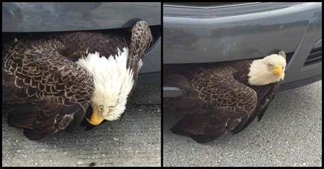 Best Mba Programs For Ente bald eagle stuck in the of a moving car gets last