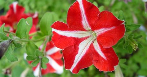 how to cut back my petunias to make them bloom more ehow uk