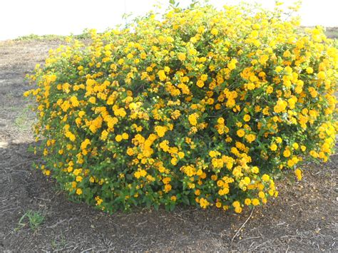 yellow flowering shrubs yellow flower bush landscape