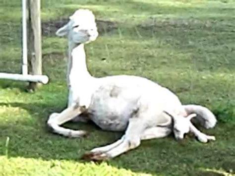baby alpaca  born   mp youtube