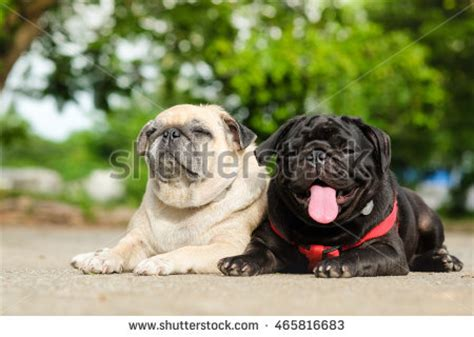 family of pugs pug stock photos images pictures