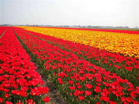 netherlands tulip fields travel trip journey tulip fields in netherlands