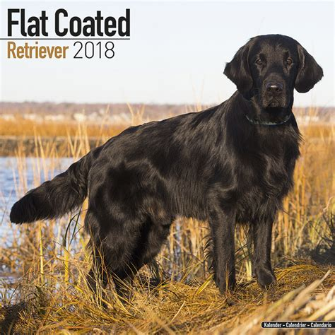 flatcoated retriever square 1785800493 flat coated retriever calendars 2018 on europosters
