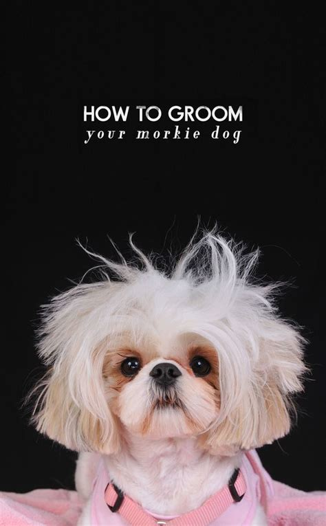 How To Groom A Morkie | how to groom a morkie the full step by step guide