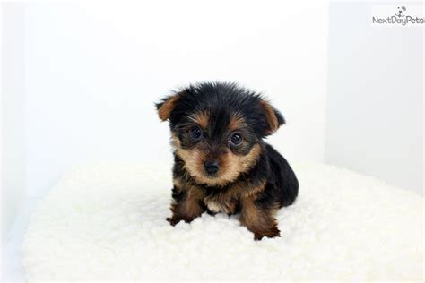 free yorkie puppies near me terrier yorkie puppy for sale near los angeles california 13bc6e59 b6b1