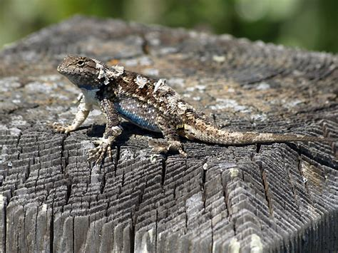 Do Anoles Shed Their Skin by Free Pokies The 500 Best Pokies