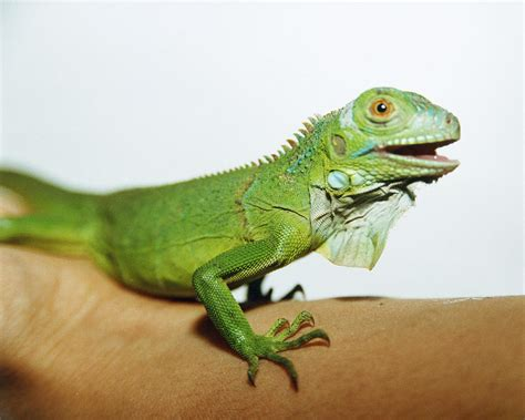 pet iguana photograph by cristina pedrazzini