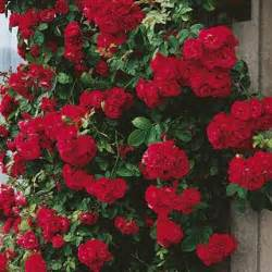 don juan large flowered climbing rose best of the