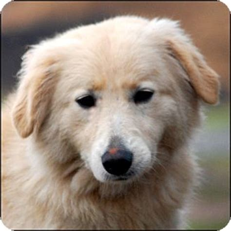 golden retriever pyrenees great pyrenees lab mix book covers