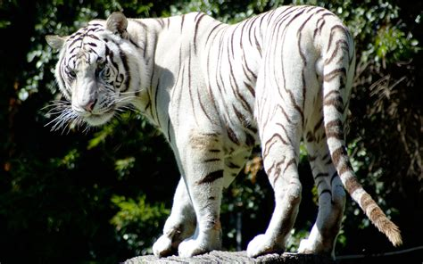 white tiger pictures baby white siberian tiger 171 nat geo adventure
