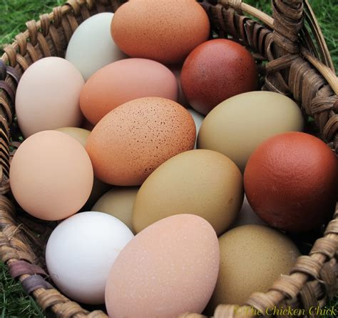 Backyard Chicken Eggs by The Chicken 174 8 Tips For Clean Eggs From Backyard