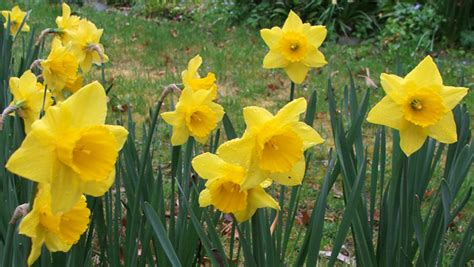 daffodil yellow flower bulbs