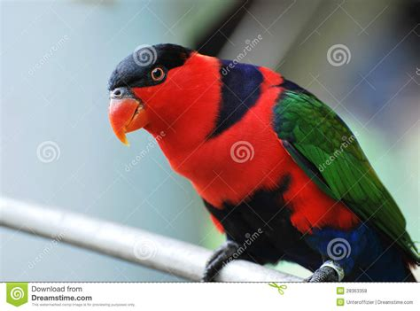 lory bird royalty free stock photos image 28363358