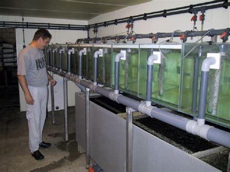 catfish hatchery layout african catfish clarias gariepinus african catfish
