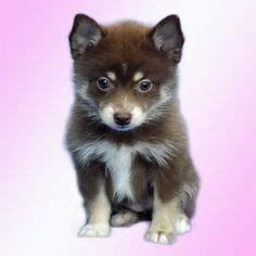 pomeranian husky puppies for sale in pa pomsky puppies for sale in pa animals pomsky puppies pomsky and husky mix