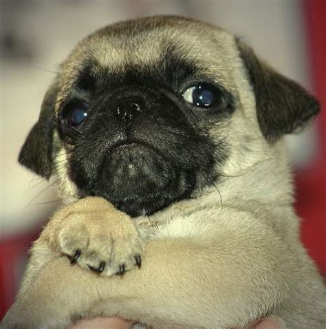 do pugs seizures i everything you need to all about pugs