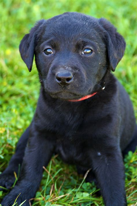 8 week puppy 8 week lab puppy adorable black lab puppy photography pintere