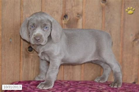 weimaraner puppies for sale in ohio weimaraner puppy for sale banjo miss mable