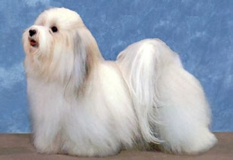havanese papillon breeds for working singles pets world
