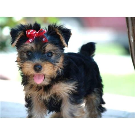 i want a yorkie puppy best 25 terrier puppies ideas on terriers