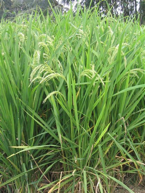 Cianjur Trademark2 gasol pertanian organik beras pandan wangi