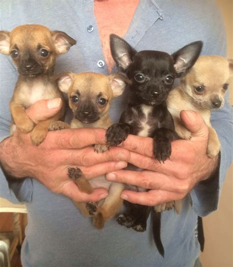 teacup chihuahua puppies teacup chiwawa puppies www imgkid the image kid has it