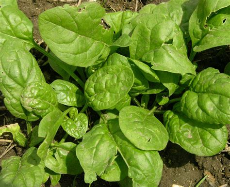Spinach Garden by Studio And Garden Thinning Spinach A Chore Into A Salad