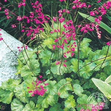 Benihbijibibit Bunga Heuchera Mix 1 plant profile for heuchera bressingham hybrids coral bells perennial