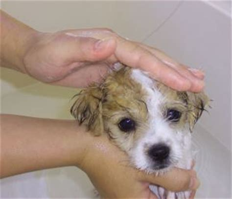 what age can you bathe a puppy puppys bath age tips
