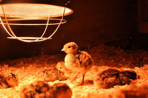 Baby Chicken Heat L by How To Build A Brooder Modern Farmer