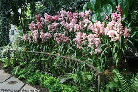 manutenzione orchidee in vaso orchidee cymbidium manutenzione e coltivazione fiori