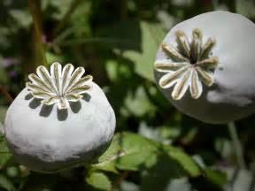 Opium opium poppy mohnkapsel jpg