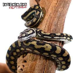 Lighting For Carpet Python Baby Coastal Carpet Python Underground Reptiles
