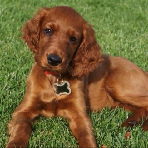 red setter dog facts 154 best maddie s irish setter soon to be images on