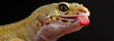 Leopard Gecko 2 leopard gecko diet feeding guide petsmart