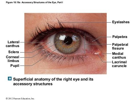 outer eye diagram lateral canthus search ear nose eye