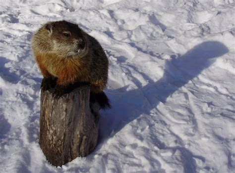 groundhog day meaning of shadow the story of the groundhog and his shadow welcome to