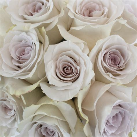 50 shades of early grey rose