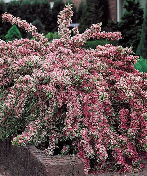 flowering shrubs for zone 9 pink plant shrubs and perennials on
