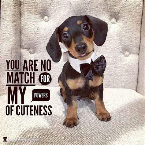 Dachshund Pictures With Quotes best 25 dachshund quotes ideas on daschund