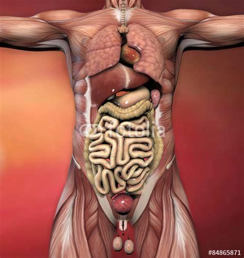 addome organi interni quot corpo umano maschile anatomia muscoli e organi quot stock