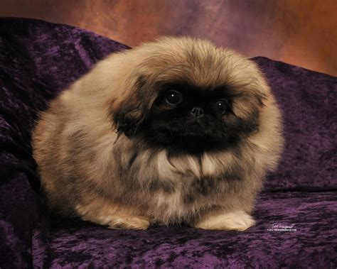 mut puppies pekingese breed 187 information pictures more