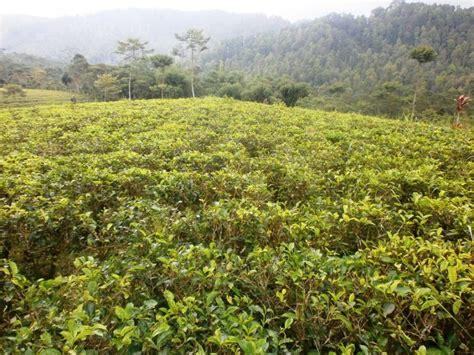 Teh Desa Jawa tanah dijual dijual kebun teh beserta pabriknya di desa
