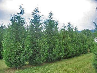 green giant arborvitae  privacy plants