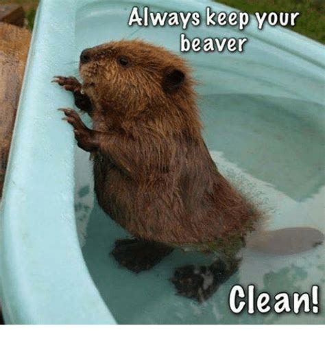 Beaver Meme - funny beaver memes of 2017 on sizzle shortness