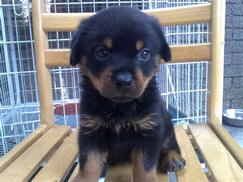 buy german rottweiler rottweiler puppies for adoption breeds picture